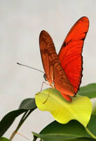 Julio Butterfly by Tinap
