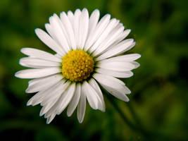 daisy by DanielGliese