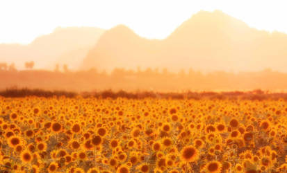Summer Collection: Fields of Gold by Rosebud-Warrior