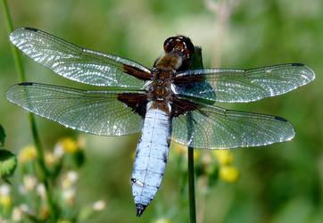 Libellule / Dragonfly by PhotosCrystalJones