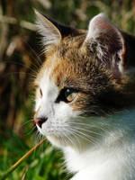 Chaton / Kitten by PhotosCrystalJones