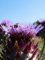 Cardoon flower by PhotosCrystalJones