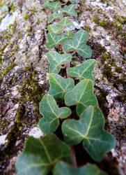 Ivy by PhotosCrystalJones