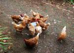 Hens by PhotosCrystalJones