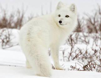 Polar fox by Y0ung3xpr3ssi0n