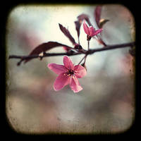 Blossom by Chansie
