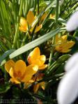 Garden1 - Yellow Croci by MoonFlowerSax