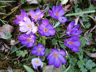 Garden1 - Various Purple Croci, Top View by MoonFlowerSax