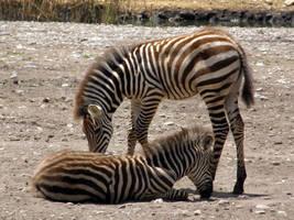 Zebra foals by purple-whirlpool