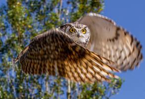 Horned Owl by nigel3