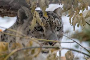 Snow flake on Snow leopard by nigel3