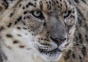 Leopard by nigel3