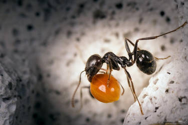 Ant vs. grain by Puttee