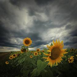 Sunflowers by EdSinger