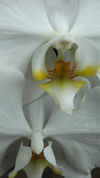 White Orchid by Tiamimi