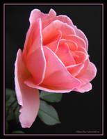 Last Bloom by SilivrenTinu