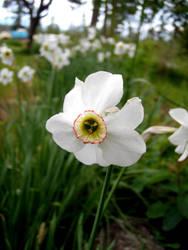 daffodil20 by daffodil20