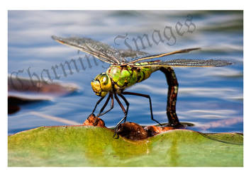 Dragonfly by CharmingPhotography