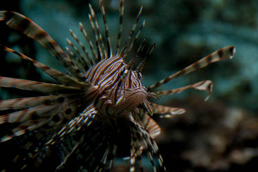 Lion Fish by Alfruin
