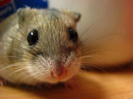dwarf hamster by caribooooou