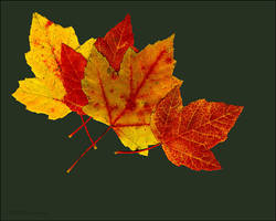 Red Maple Leaves by bamako