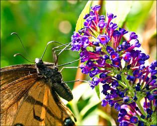 Butterfly Bush by bamako