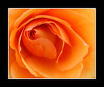 The Rose by bamako