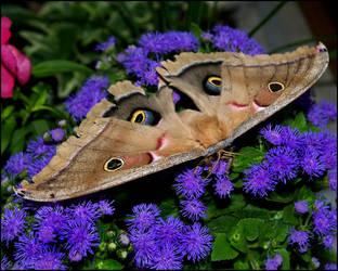 Big Beautiful Moth by bamako