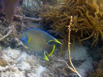 Queen Angelfish, Sea Gardens, Islamorada, FL by Lauren-Lee