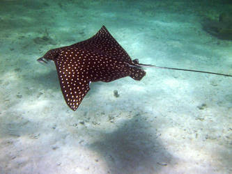 Spotted Eagle Ray, Sea Gardens, Islamorada, FL by Lauren-Lee