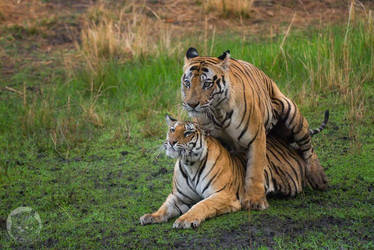 Tigers mating by 00Tiger00