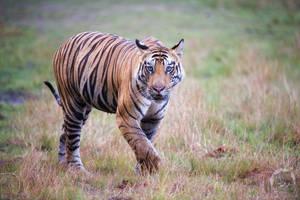 Tiger walking... by 00Tiger00