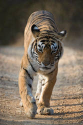 Machali Tiger of Ranthambhore by 00Tiger00
