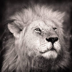 lion...in a square format 3 by 00Tiger00