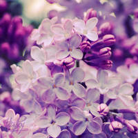 purple explosion by Stefania-R
