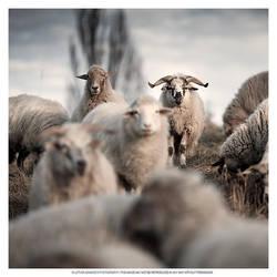 Boss Sheep by DREAMCA7CHER