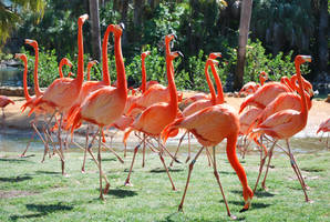 Flock o' Flamingos by SBG-CrewStock