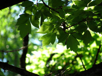 Leaves in Light by jpwendell