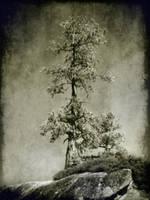 untitled (pine yosemite) by filmnoirphotos