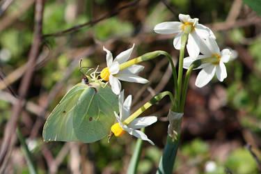 Gonepteryx rhamni by kailor