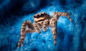 Jumping Spider by NoviceOfAnimation
