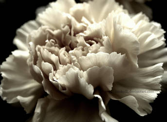 Clove by Brokulli