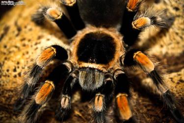 Spider by kiskocka