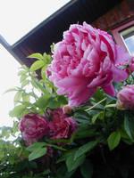 Pink Petals by JKBH
