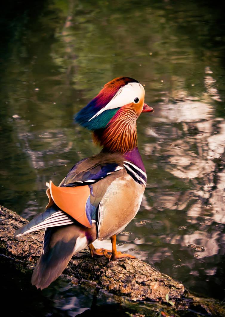 Duck by Fr34kZ