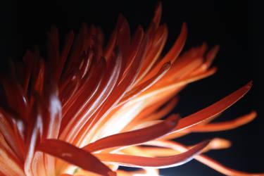 Late Night Chrysanthemum by create-a-name-dotcom