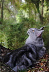 Maine Coon In His Spot by create-a-name-dotcom
