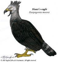 Haast's-eagle by RSNascimento