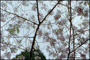 cherry blossoms by kpak