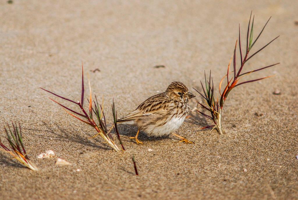 Lesser short-toed lark by jcolimbo34